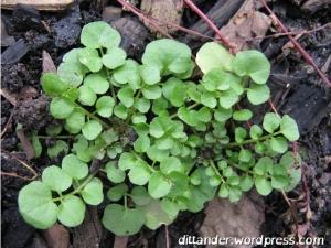 Bittercress Cardamine hirsuta weed foraging
