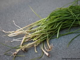 Crow garlic (Allium vineale)