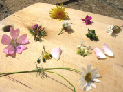 A selection of edible wild flowers in summer: mallow, vetch, ox-eye daisy, nipplewort, dandelion, dog rose, white dead nettle, rosebay willowherb, pineappleweed and white cover.
