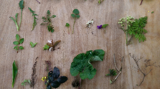 Wild plants laid out on a table