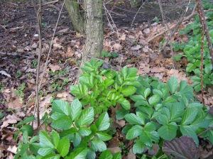 Alexanders Smyrnium olusatrum winter foraging
