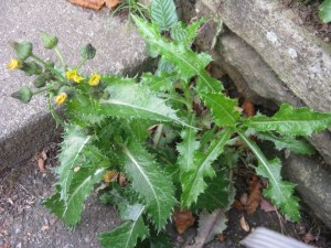 Sonchus asper prickly sow thistle foraging