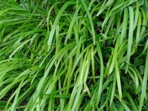 Three cornered garlic leek Allium triquestrum foraging