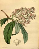 One of the many cinchona species that were used as an anti-malarial. plantillustrations.org