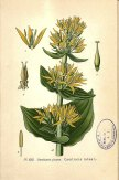 Gentian root was one of themost popular bittering agents. plantillustrations.org