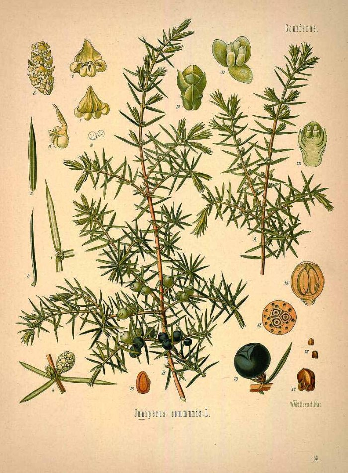 Botanical illustration of Juniperus communis